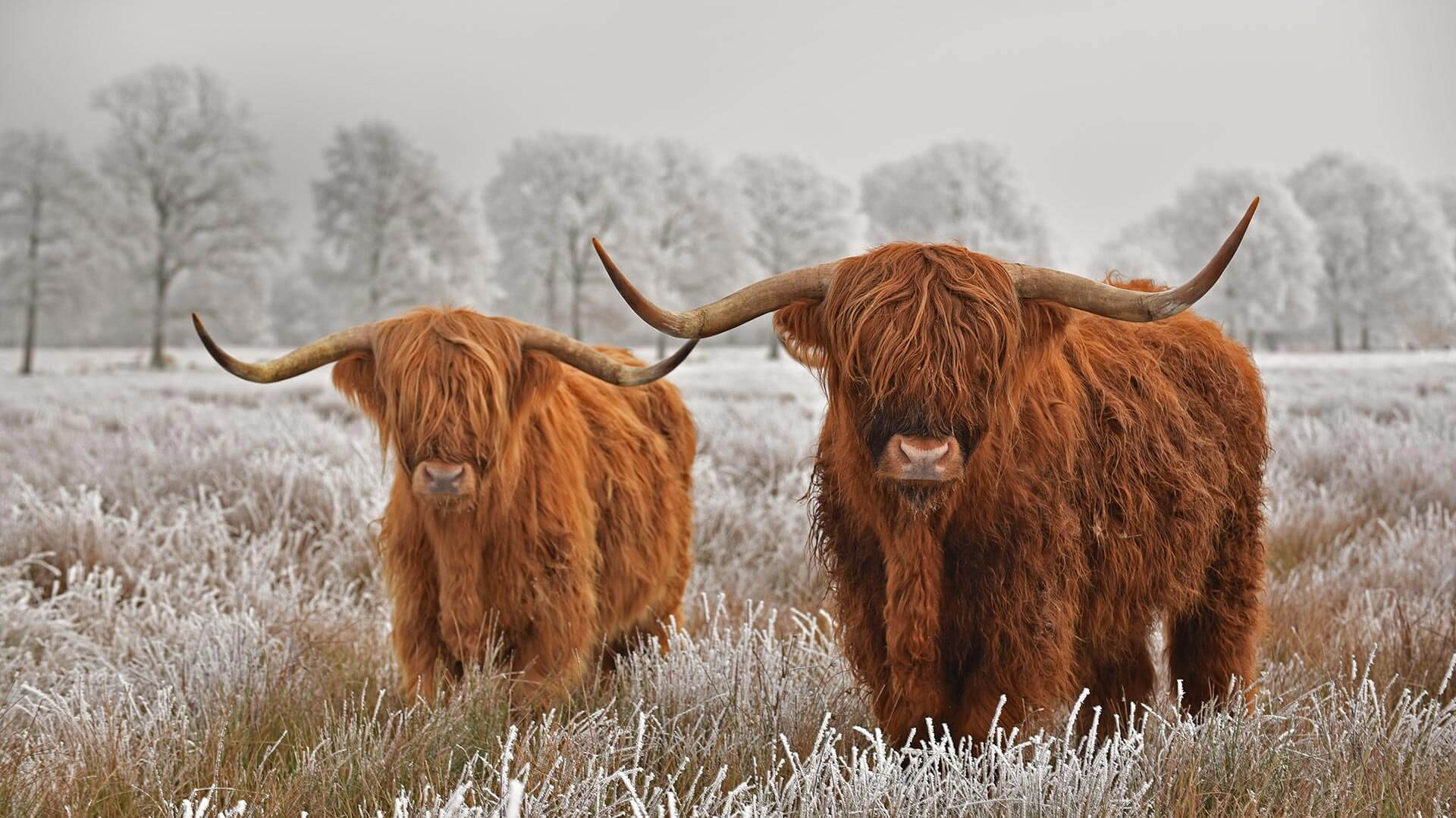 Highland Cattle Stare Down Winter By Microsoft Wallpapers Wallpaperhub